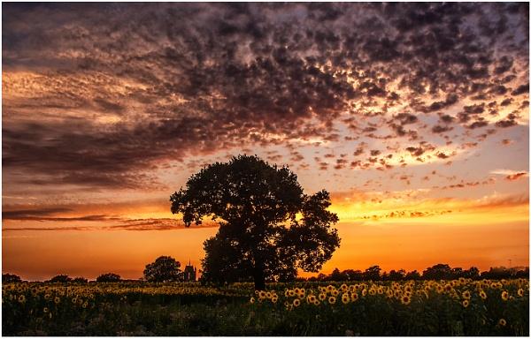 Sunflower Sunset by dven