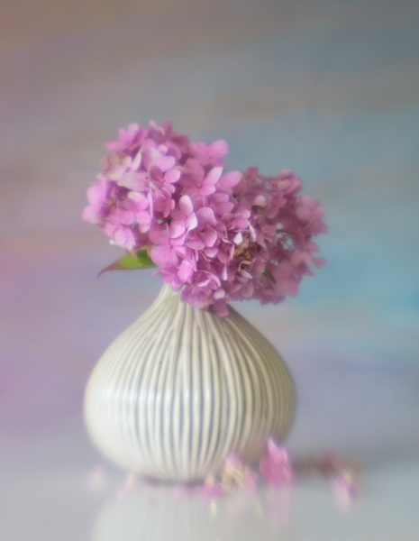 Hydrangea by chase