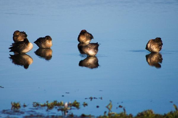 Ducks Tichwell by GwB