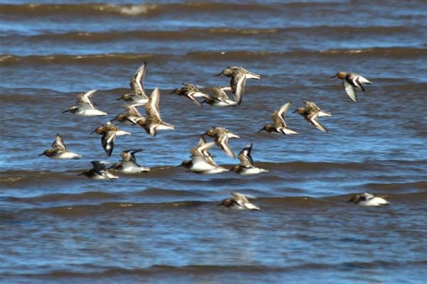 Sanderlings in flight  ? by GwB