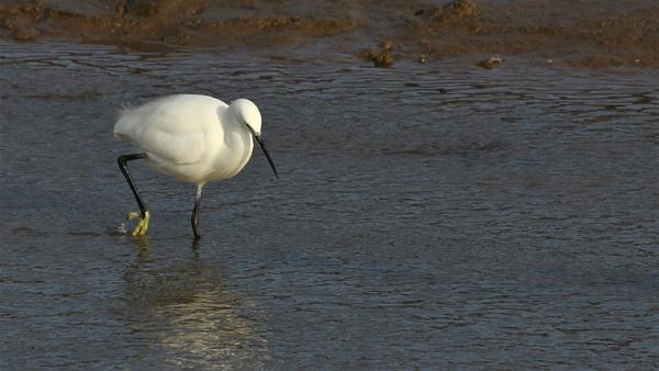 Egret by GwB