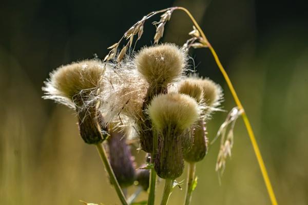 Seed heads. by terra