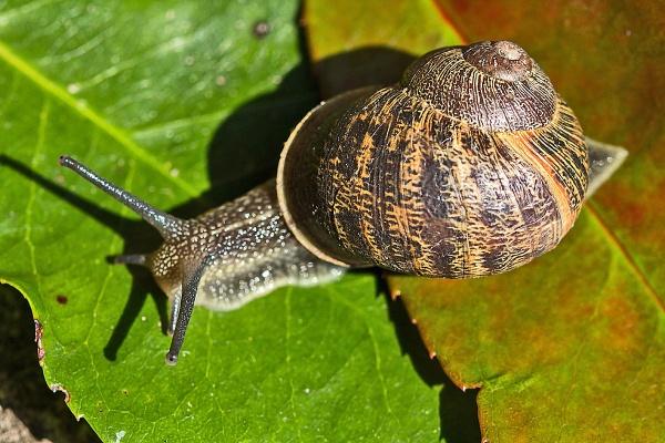 A \'Garden Snail\' (Cornu aspersum) by johnsd