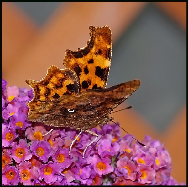 Comma on Buddleia # by Badgerfred