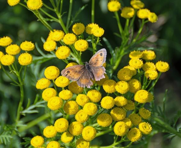Gatekeeper Butterfly by LinH