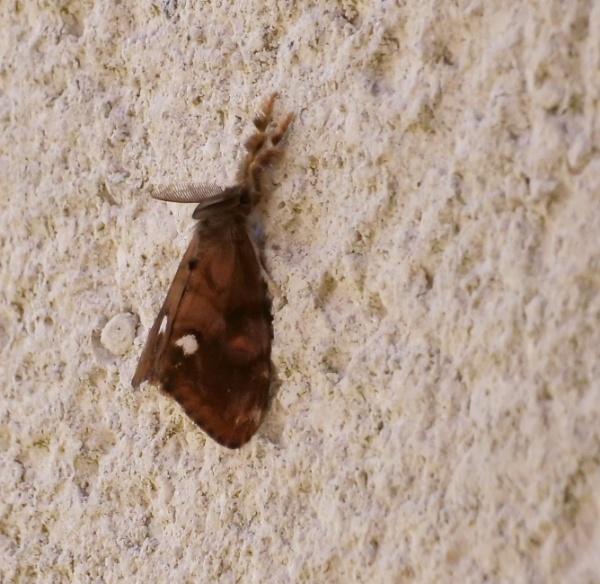 male vapourer moth by sparrowhawk