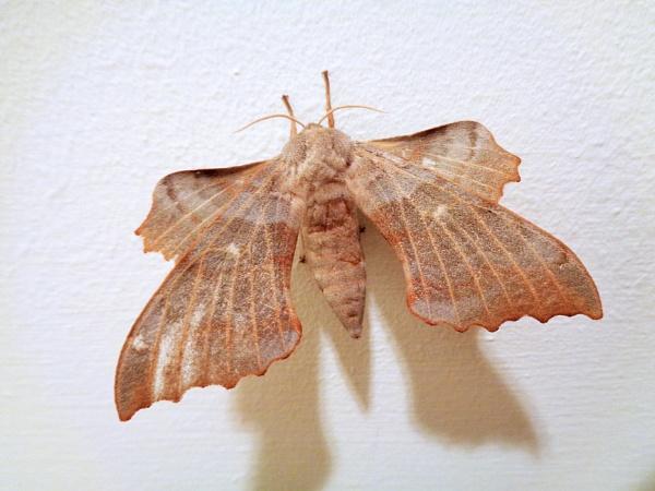 Poplar Hawk Moth by TonyDy