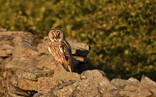 Long Eared Owl In The Evening Sunlight. by Len1950