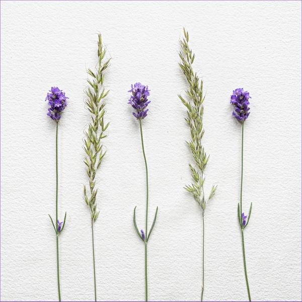 LAVENDER & GRASSES by judidicks