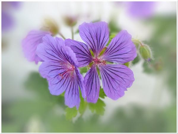 hardy geranium by CaroleS