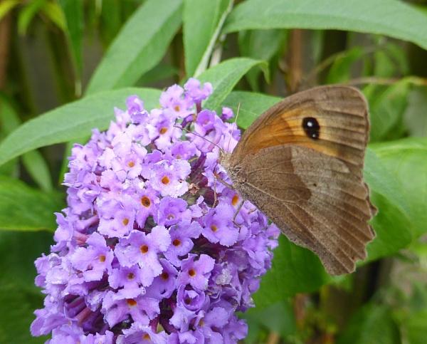 Gatekeeper Butterfly by peterkin