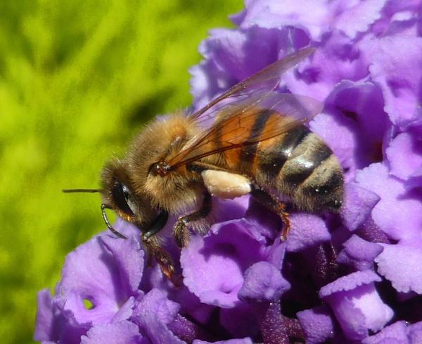Honey Bee by peterkin