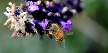 Purple  polllinator