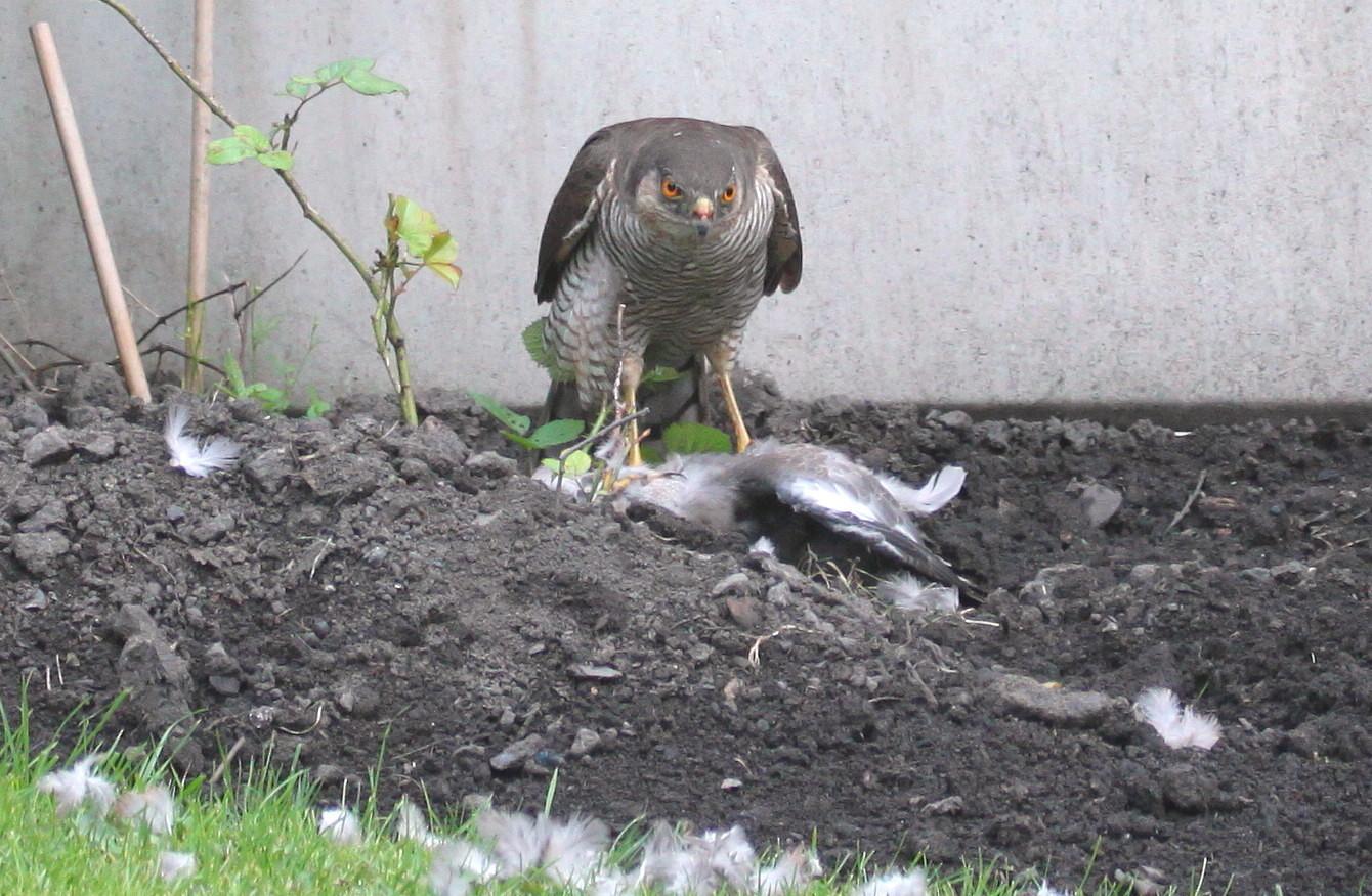Killer in the garden