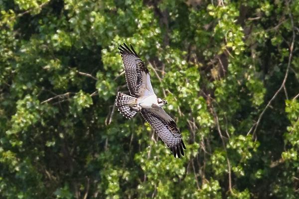 In-Flight Osprey by Bazzaspal