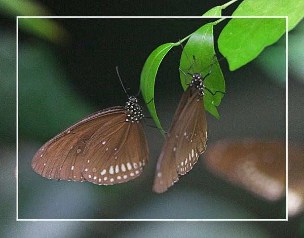 A Pair Of Crow Butterflies (Euploea core)  (best viewed large) by gconant