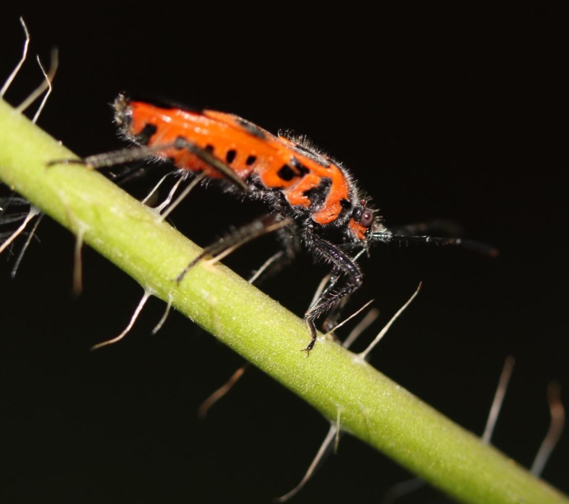 Cinnamon Bug - Corizus hyoscyami