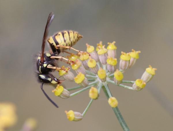 Vespula vulgaris, Common Wasp by beckybookins