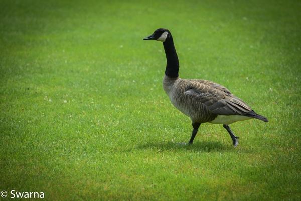 Goose... by Swarnadip