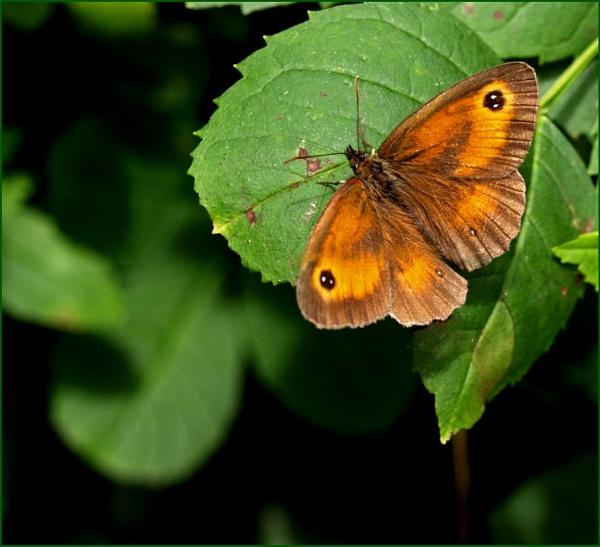 Gatekeeper Butterfly ... by JuBarney