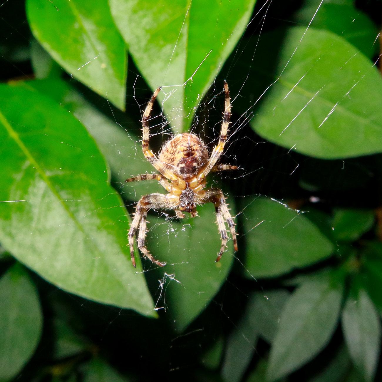 Humble garden spider