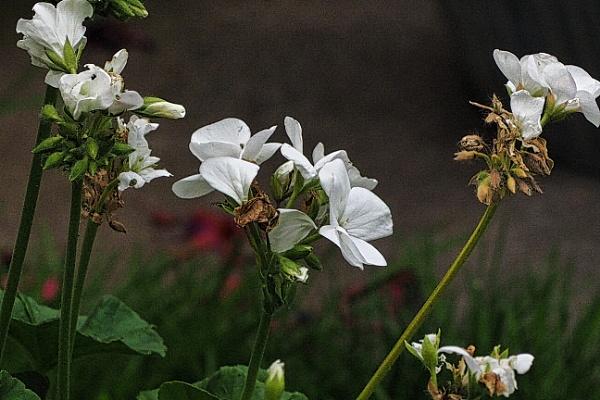 GERANIUM FLOWER. by kojack