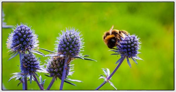 Bee by Nikonuser1