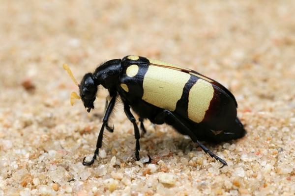 Bean Beetle by Steveo28