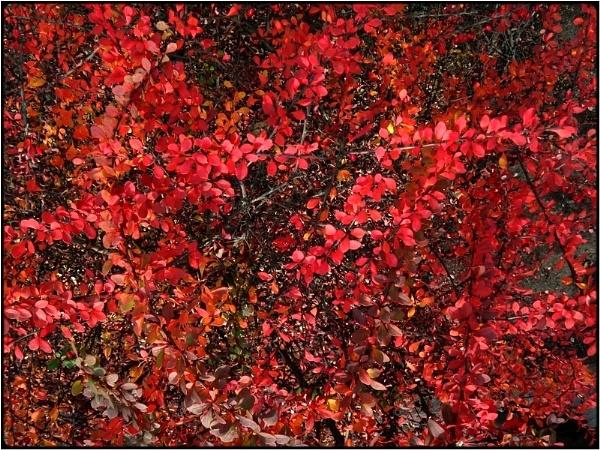 red bush by FabioKeiner