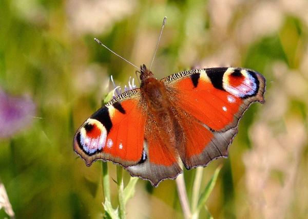 Peacock Butterfly by photowanderer