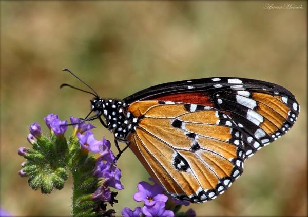 African Monarch by johnke