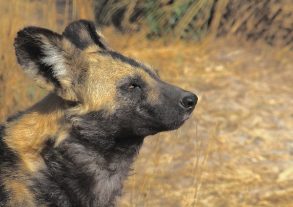 African Wild Dog (painted wolf). by johnke