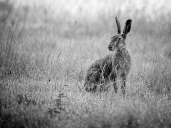 Early Hare