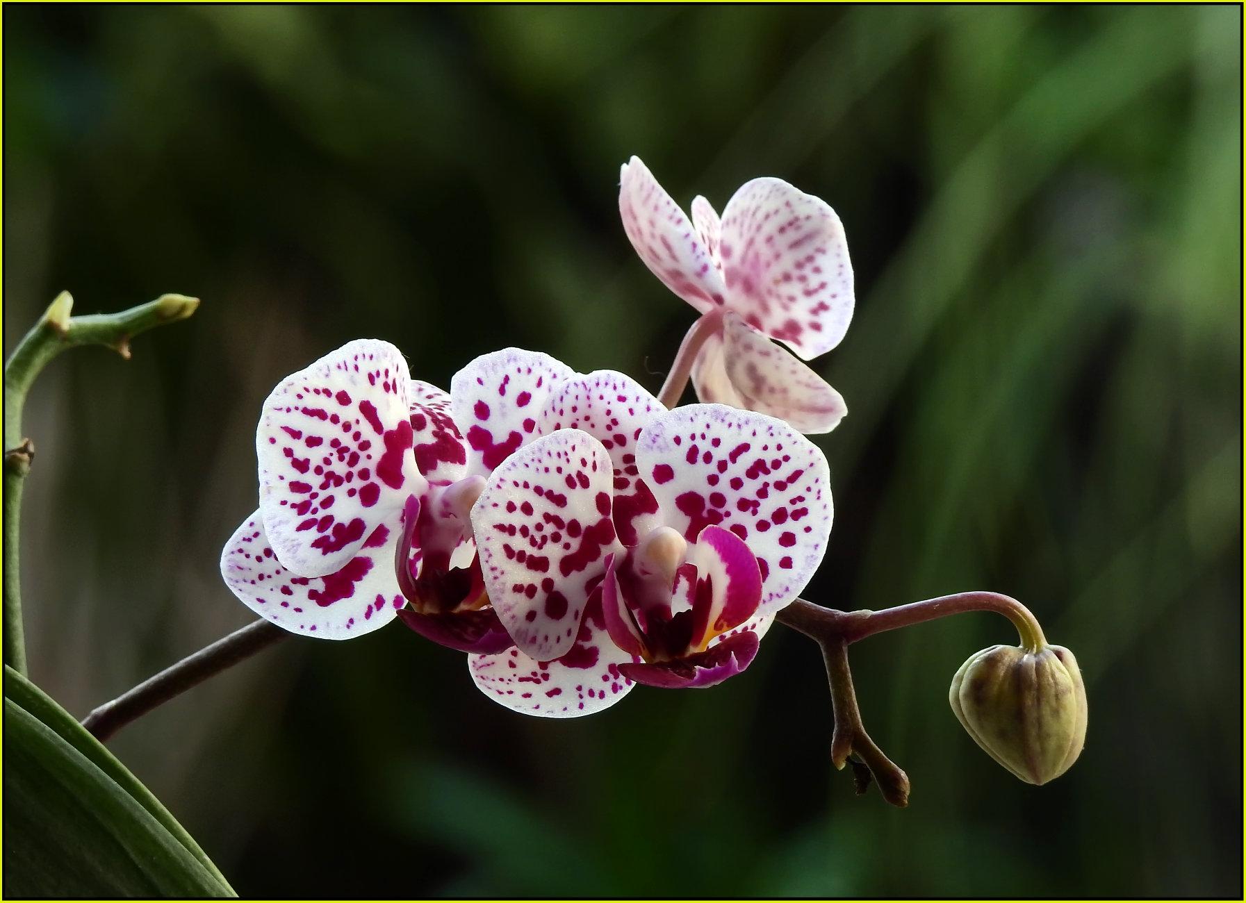 Miniature phalaenopsis hybrid