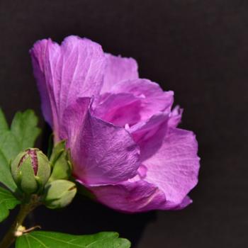 Hibiscus flower in the garden