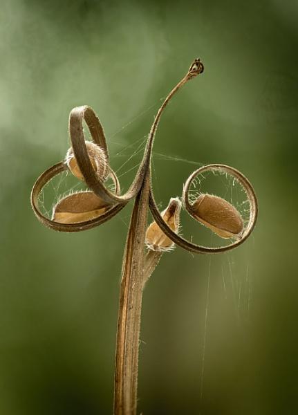 Wild Geranium Seeds by iangilmour