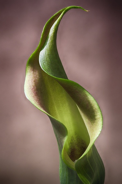 Calla Lily #2 by iangilmour
