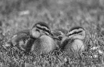Pair of Ducklings