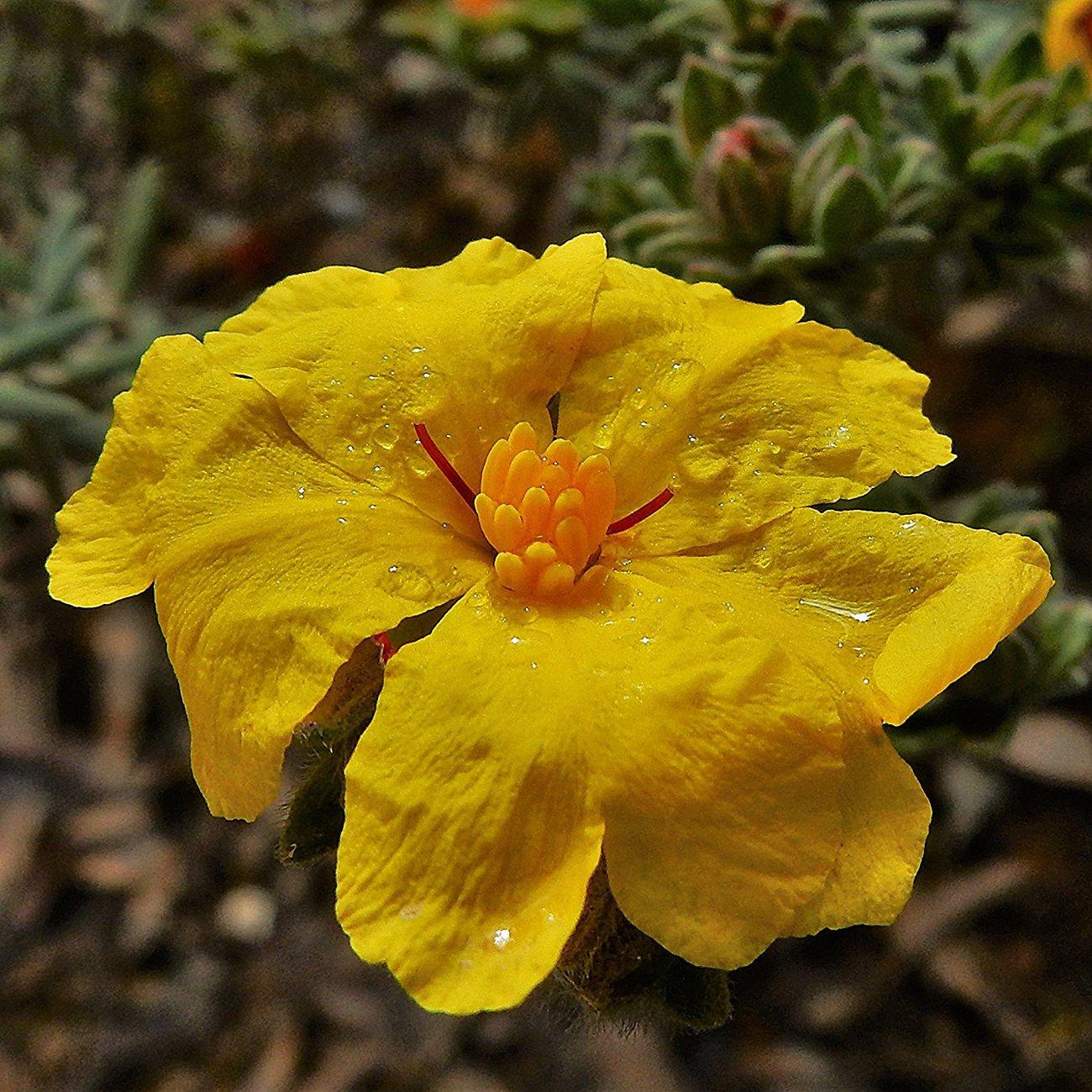 """""""Guinea Flower"""""""