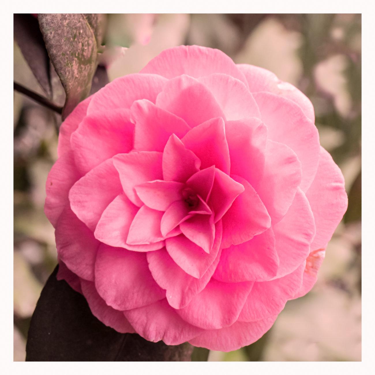 Pink Camillea