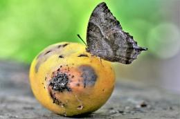 Butterfly on a mango