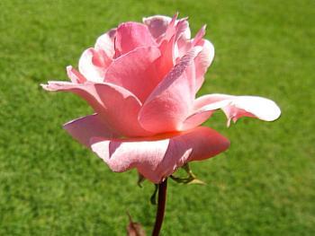 A Rose in Close UP