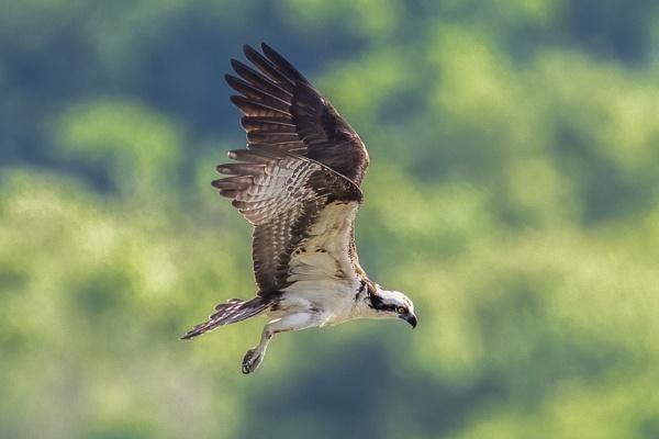 Osprey by TDP43