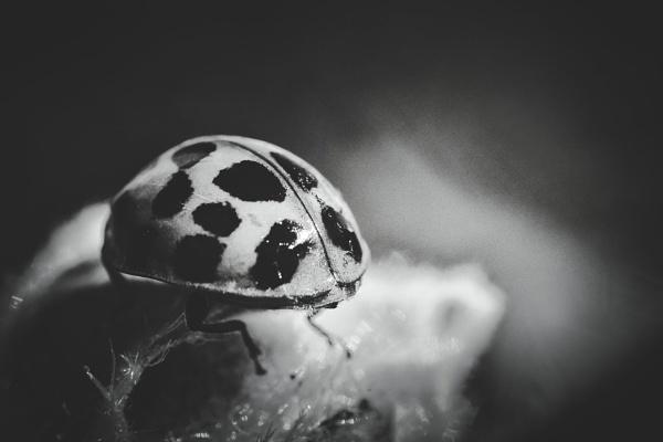 Ladybug by icipix