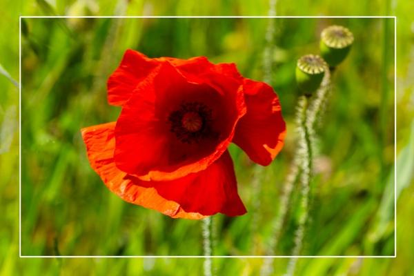 Poppy by SueB277