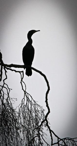 Cormorant Roost by Knowlesie