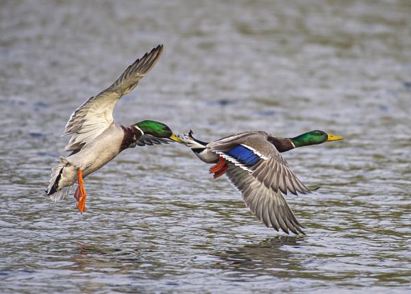 Dogfight Ducks by chensuriashi
