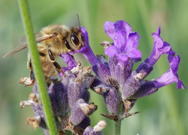 Bee Feeding on Lavender by Kako