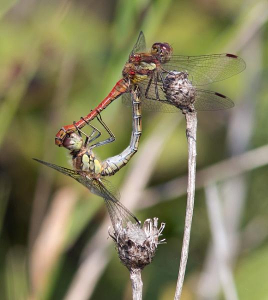 Dragonfly procreation by oldgreyheron