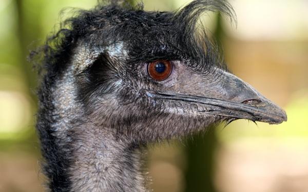 Friendly Emu. by paulbroad